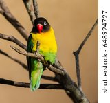 Small photo of Masked lovebird Agapornis personata