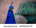 peacock detail with blurred... | Shutterstock . vector #649026193