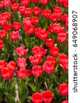 beautiful red tulips in nature | Shutterstock . vector #649068907