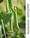 green peas in pods  cultivation ... | Shutterstock . vector #649162453