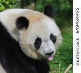 Small photo of Giant panda, Ailuropoda melanoleuca, head