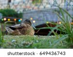 A Duck Relaxes By A Brook In...