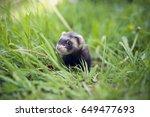 Sable Ferret Baby In Grass