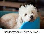 lazy white poodle dog laying in ... | Shutterstock . vector #649778623