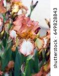 Iris Bearded Brown With White...