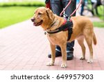 guide dog is helping a blind... | Shutterstock . vector #649957903