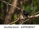 Indian Robin  Black Bird