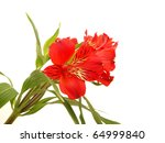 alstroemeria on a white... | Shutterstock . vector #64999840