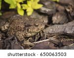 the common toad  european toad  ... | Shutterstock . vector #650063503