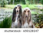 Small photo of Portrait of two Afghan greyhounds, beautiful, dog show appearance. Beauty salon, grooming, dog care, hairstyles for dogs, dog stylist
