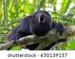 Black Or Guatemalan Howler...