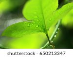 selectively focused dew drops... | Shutterstock . vector #650213347