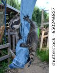 Small photo of A racoon - baby hangs on jeans