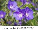 blue geraniums flowers under... | Shutterstock . vector #650267353