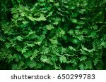 green hedge of thuja trees ... | Shutterstock . vector #650299783