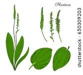 Great Plantain  Plantago Major...