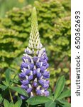 blossoming lupines with copy... | Shutterstock . vector #650362693
