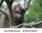 close up of porcupine in tree | Shutterstock . vector #650425837