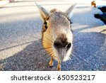 patagonian mara close up at zoo ... | Shutterstock . vector #650523217