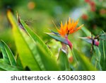 bird of paradise tropical... | Shutterstock . vector #650603803