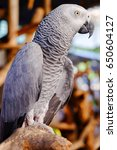 Small photo of African grey stand on the tree, Parrot