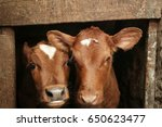 Two Calves In Cowshed  Closeup