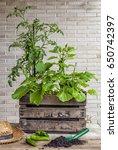 a small urban vegetable garden... | Shutterstock . vector #650742397