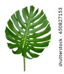 monstera leaf  big exotic... | Shutterstock . vector #650827153