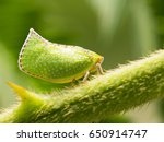 Small photo of Acanaloniidae