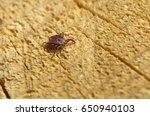Small photo of Tick (lat. Acarina)