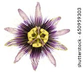 purple and white  passionflower ... | Shutterstock . vector #650959303