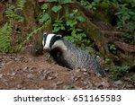 european badger   meles meles ... | Shutterstock . vector #651165583
