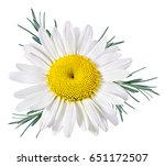 Stock photo chamomile flower isolated with clipping path 651172507