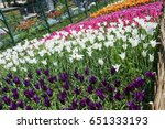 background of purple tulips.... | Shutterstock . vector #651333193