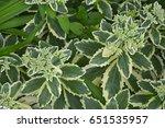 sedum erythrostictum  'frosty...   Shutterstock . vector #651535957