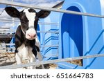 Young Calf Standing In The...