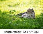 young adult cheetah rests in... | Shutterstock . vector #651774283