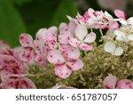 Pink And White Oak Leaf...