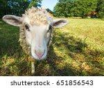 Sheep Looking At The Camera....