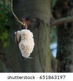 fresh ceiba pods on tree  white ... | Shutterstock . vector #651863197
