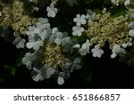 Small photo of Round white flowers of american cranberrybush on dark background