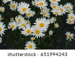 Camomile Field  Flowerbed With...