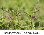 geum rivale blooms in the...   Shutterstock . vector #652021633