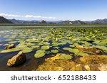 Water Lilies Carpeting Lake...