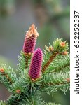 Small photo of young cones on a Norway spruce