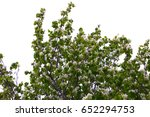 Small photo of Branches of blooming Amelanchier canadensis