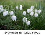 white fritillaria meleagris on... | Shutterstock . vector #652354927