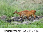 Indian Muntjac  Common Barking...