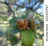 Small photo of Abstract closeup focal zoom photo of a half empty pair of acorns; Tonto National Forest in Arizona