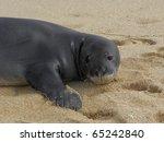 hawaiian monk seal in poipu... | Shutterstock . vector #65242840